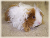 Looking for either a Peruvian or Texel Guinea pig