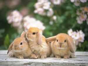 Looking for Bunny/Rabbit sitter?