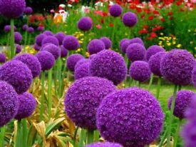 10 x Giant Purple ALLIUM GIGANTEUM Bulbs. Ready to plant