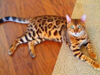 bengal cat free to loving home