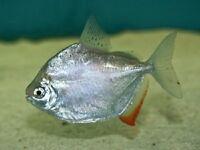 Silver dollar fish pair