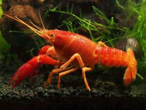 crayfish / lobster now available at T T PETS