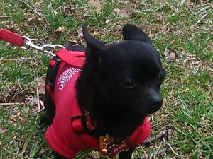 Registered Male Chihuahua to Guardian Home