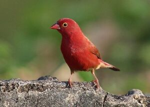 Red billed fire finch (ruddy finch) Mays Hill Parramatta Area Preview