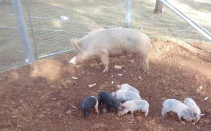 Piglets - Suckers And Weaners For Sale
