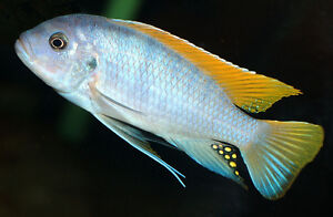 FISH - RED TOP ICE BLUE MBUNA CICHLIDS FRY - BREEDING PAIRS