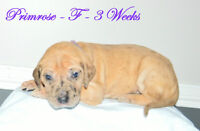 9 Beautiful Great Dane Babies Still Available!