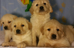Beautiful pure Labrador puppies READY NOW