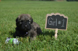 Purebred Bouvier Pups For Sale