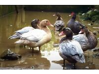 Muscovey Ducks and Drakes