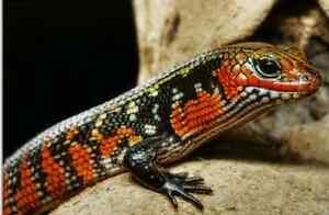 Young fireskink for sale or trade!