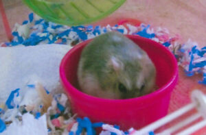 Brown Female Dwarf Hamster with Cage  $25 for all