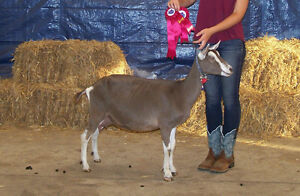 Purebred Registered Toggenburg Buck - PRICE REDUCED