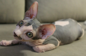 Canadian Sphynx Male unfixed