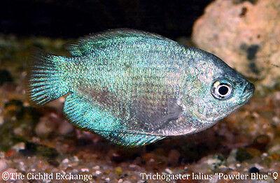 "(3) 1-1.5"" FEMALE Powder Blue Dwarf Gourami TR Trichogaster lalius Live Tropical"