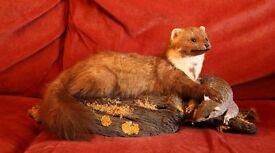 Taxidermy - Pine Marten on Grey Squirrel