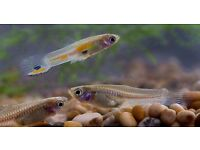 FREE GUPPIES AND BABY GUPPIES FOR COLLECTION