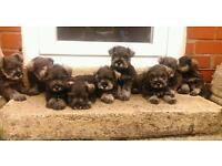kc reg miniature schnauzer puppys