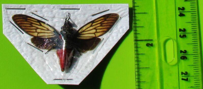 Lot of 10 Popular Red Devil Cicada Huechys incarnata Spread FAST FROM USA