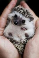 looking for a baby hedghog