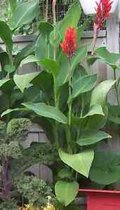 Canna lily (red) bulbs Kitchener / Waterloo Kitchener Area image 1