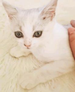 Muffin 🍮exotic persian x burmilla GIRL kitten ready NOW!