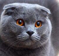 Looking for a good home for our Scottish Fold silver. Teddy.