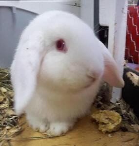 Young Female  - Flemish Giant-Lop Eared