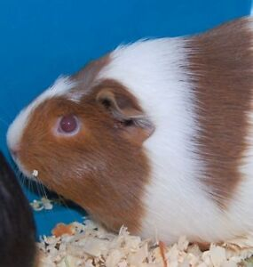 "Adult Female Small & Furry - Guinea Pig: ""Nancy"""