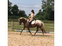 Appaloosa sports horse
