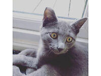 Missing 6 Month Old Grey Cat