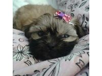 SHIH TZU MALE PUPPIES READY NOW 2 LEFT ONLY
