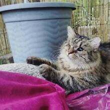 MISSING CAT!! LAST SEEN WARWICK RD IPSWICH NEAR THE HOSPITAL QLD Ipswich Ipswich City Preview