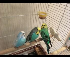 3 male budgies in a big, beautiful cage with all accessories