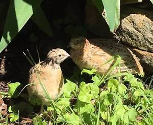 Japanese quails for sale Castlecrag Willoughby Area Preview