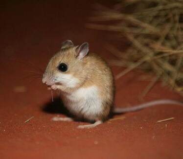Spinifex Hopping Mice Aldinga Beach Morphett Vale Area Preview