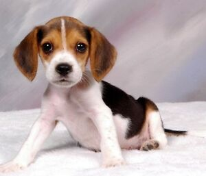 WANTED: BEAGLE PUPPY