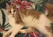 Maine Coon disponibile