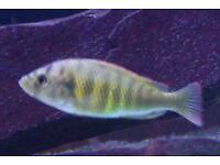 Female Haplochromis nyererei (SP.44) adult for sale