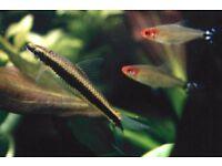 3x Siamese Flying Fox fish for sale