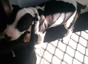Bull terrier x American blue staffy Tahmoor Wollondilly Area Preview