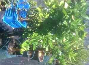 CITRUS TREES   Semi Mature $40-180 Midvale Mundaring Area Preview