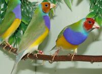 2015 male and female gouldians