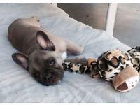 11 week fawn French bulldog carrying amazingly genes