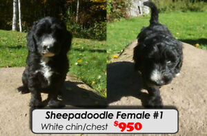 HURRY~! Only 2 Sheepadoodle pups left