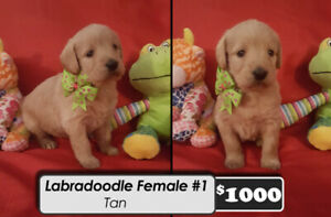 Labradoodle Puppies for sale ONLY 4 LEFT