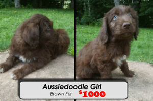 Aussiedoodle F1 Puppy For Sale