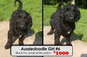 ONLY 1 LITTLE GIRL LEFT~! Aussiedoodle F1 Puppy For Sale
