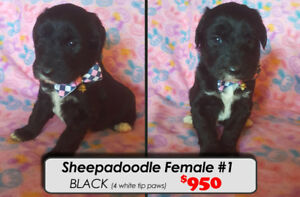 Sheepadoodle Puppies For Sale~!! 1 LEFT **Ready Dec 31st**