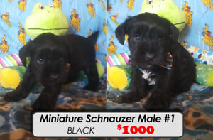 Miniature Schnauzers Puppies~!! ONLY 3 LEFT *Ready for Dec 26th*